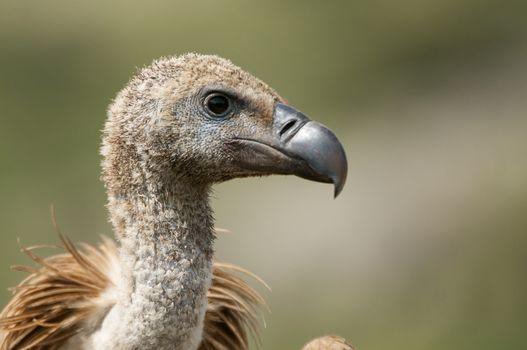Griffon Vulture (Gyps fulvus) close-up, eyes and beak