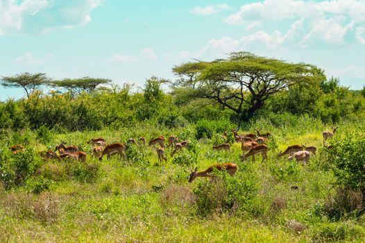 Herd of impalas grazing in the savannah grasslands of Samburu Pa