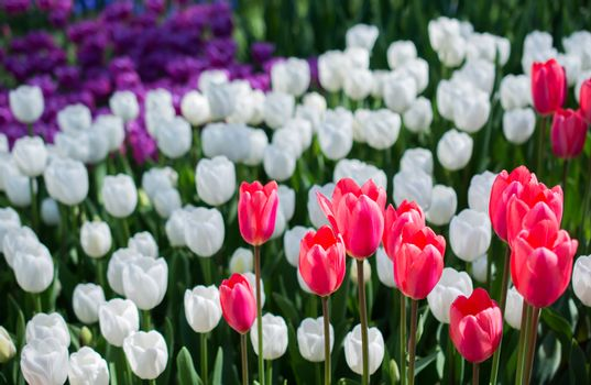 Tulip Flowers Blooming in Spring Season