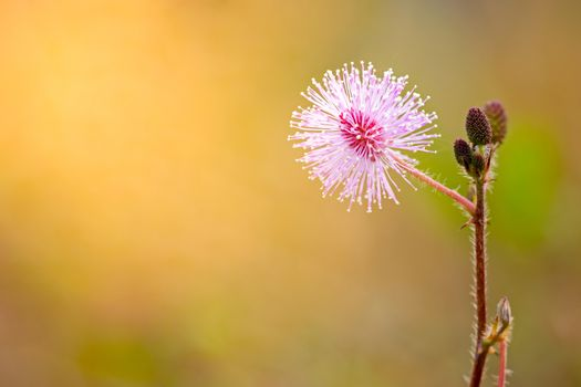 Flowers of sensitive plant among the grasslands and morning sunl