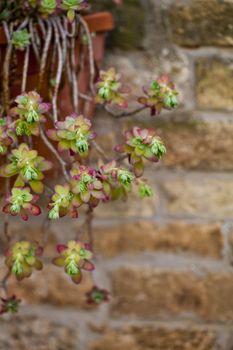 Hanging succulents closeup