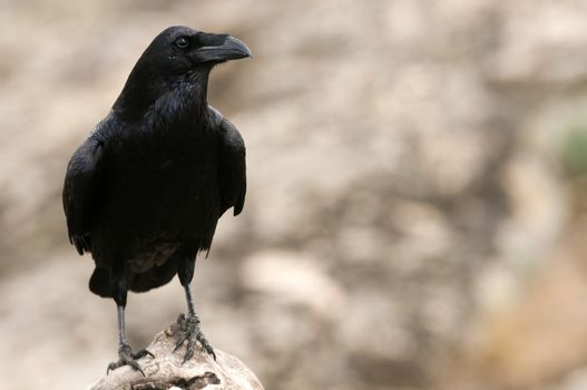 Raven - Corvus corax,   Portrait of body and plumage