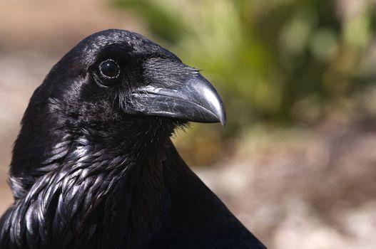 Raven - Corvus corax, Portrait of eyes, head and beak