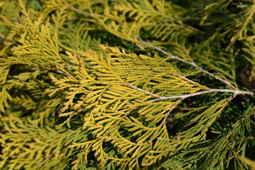 Golden Globe Arborvitae