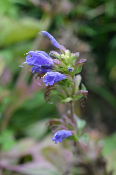 Altai Blue Dragonhead