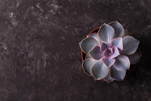 Small succulent Echeveria