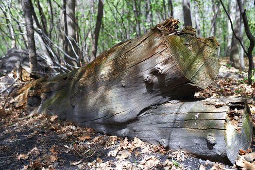 Dead fallen tree trunk in the forest