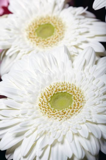 Chrysanthemum. Macro photo of the white flower