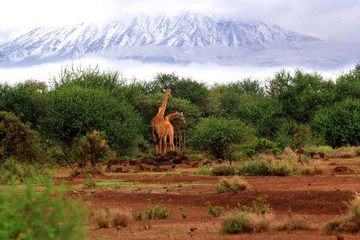 Free Giraffes in Tsavo National Park