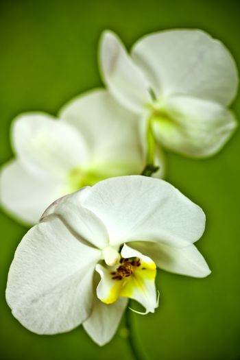 Branch of white orchid.