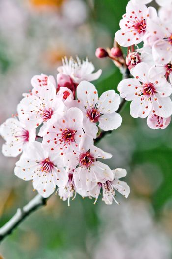 Pink spring blossoms.