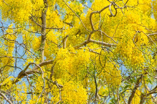 Cassia fistula, known as golden rain tree, canafistula, is flowering plant family Fabaceae. It is national tree and Flower of Thailand