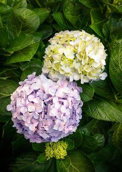 purple and yellow hydrangea or hortensia flower