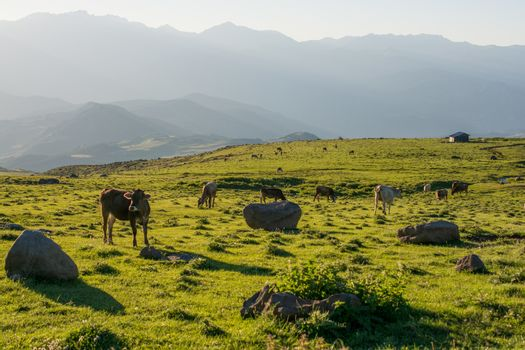 Highland Cattle grazing on moor