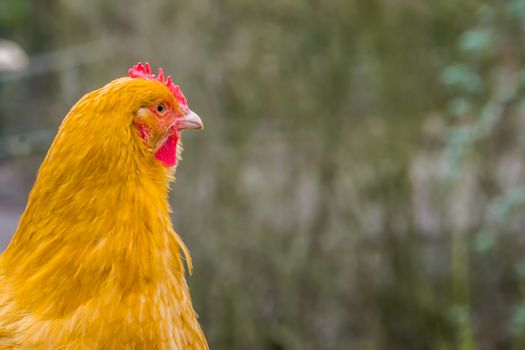 The face of a domesticated chicken in closeup, portrait of a popular farm animal