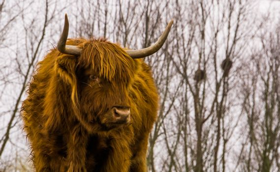 Closeup of the face of a highland cattle, scottish cow, popular domesticated farm animal