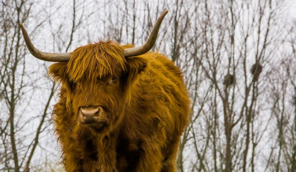 face of a highland cattle in closeup, scottish cow, popular domesticated farm animal