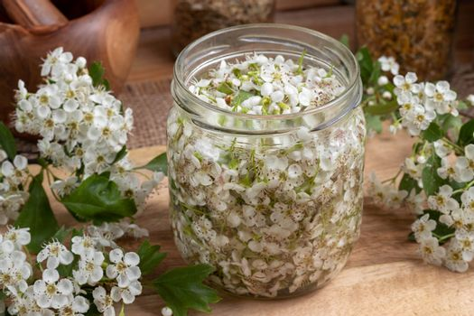 A jar filled with fresh hawthorn blossoms and alcohol, to prepar