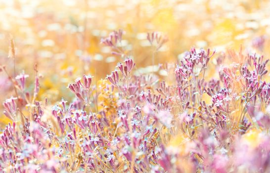 Field of a pink wildflowers