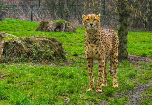 closeup of a cheetah standing in the grass, popular zoo animals, Vulnerable animal specie from Africa
