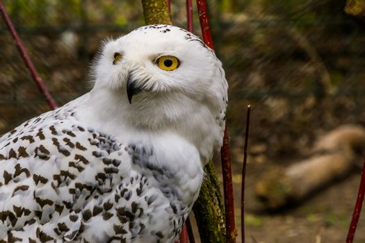 the face of a white snowy owl in closeup, beautiful arctic bird, vulnerable animal specie from Eurasia