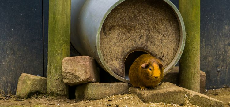 domestic brown guinea pig, popular pet, Rodent from America