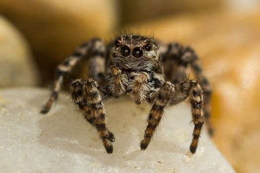 This spider is known to eat small insects like grasshoppers, flies, bees as well as other small spiders.