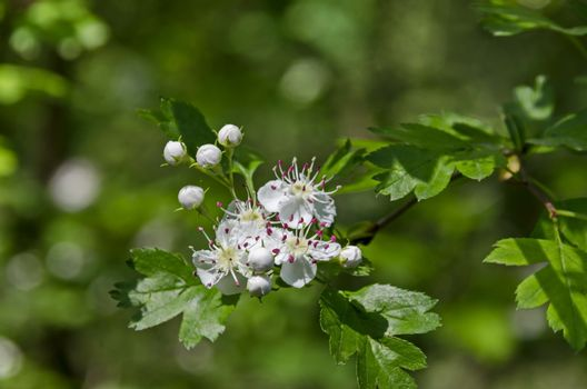 Hawthorn, Whitethorn  or Crataegus monogyna branch with flowers  of white petals and pink stamen, selective focus,  South park