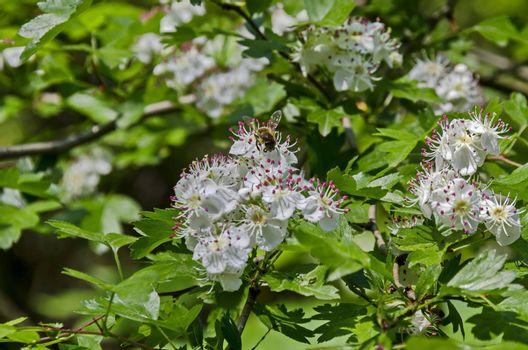 Hawthorn, Whitethorn  or Crataegus monogyna branch with flowers  of white petals and pink stamen with bee, selective focus,  South park