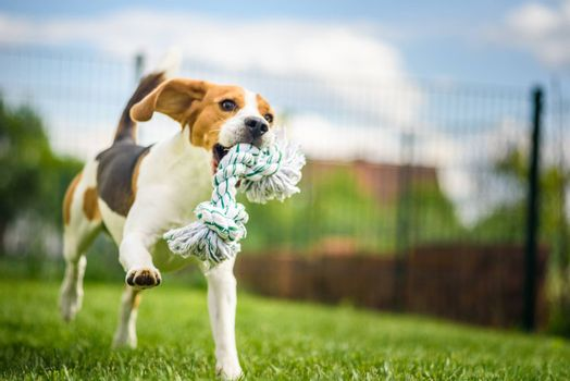Beagle dog jumping and running with a toy in a outdoor towards the camera
