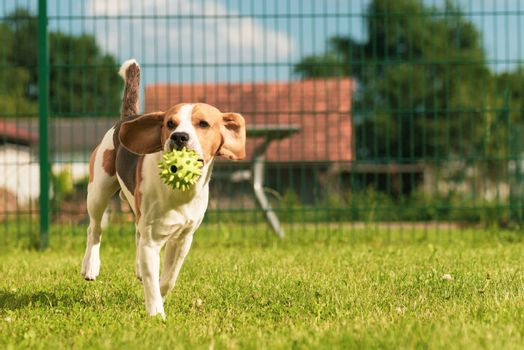 Beagle dog jumping and running with a toy outdoor towards the camera