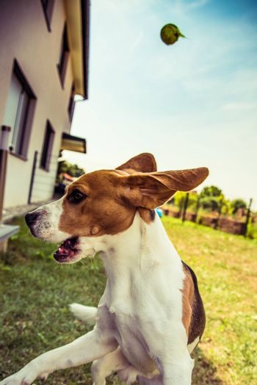 Beagle dog playing in a garden