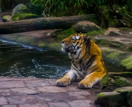 Closeup of a siberian tiger enjoying a bath, Bathing mammal, endangered animal specie from Siberia