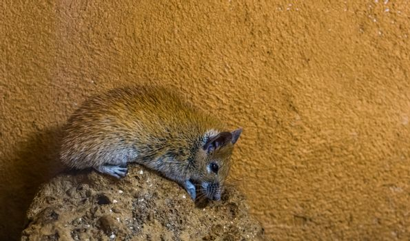closeup of a cairo spiny mouse sitting on a rock, common rodent from the north of africa