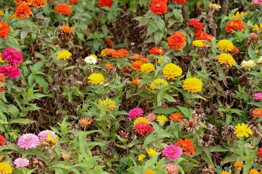 Beautifu lZinnia flowers in nature background