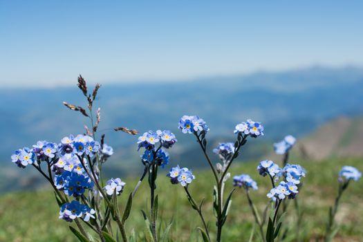 Beautiful fresh Myosotis flowers in nature background
