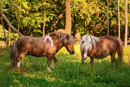 Two ponies on pasture
