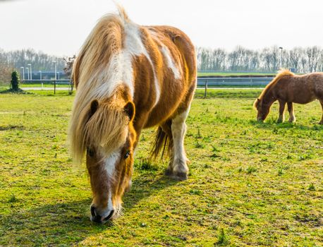 closeup of a brown with white blotched horse eating some grass, pony grazing in the pasture
