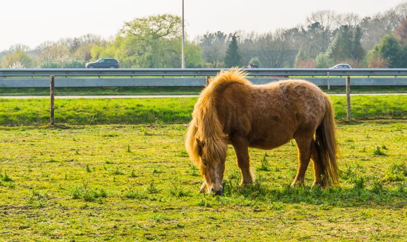 brown shetland pony grazing in a pasture, portrait of a horse standing in a meadow