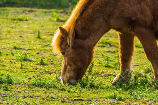the face of a brown horse in closeup, pony eating grass in the pasture