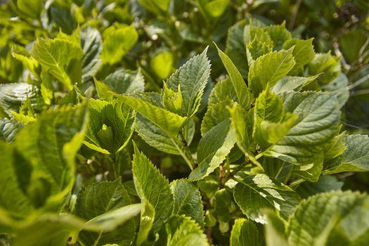 Hydrangea leaves in spring