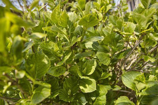 Hydrangea leaves in spring #3