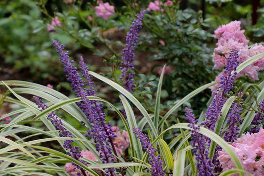 BeautifulMonkey grass  flowers in nature background