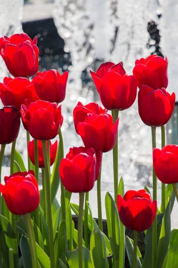 Red color tulip flowers bloom in the garden