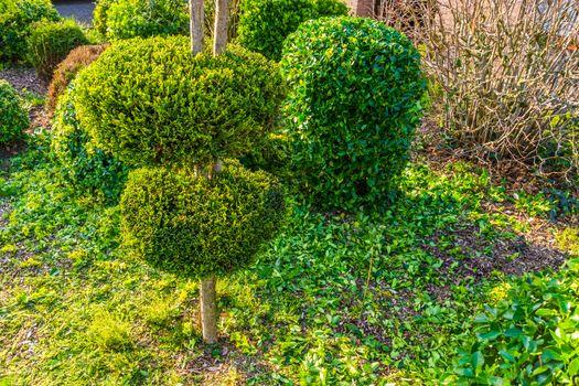 freshly pruned backyard, garden maintenance, conifer tree with decorative round shapes