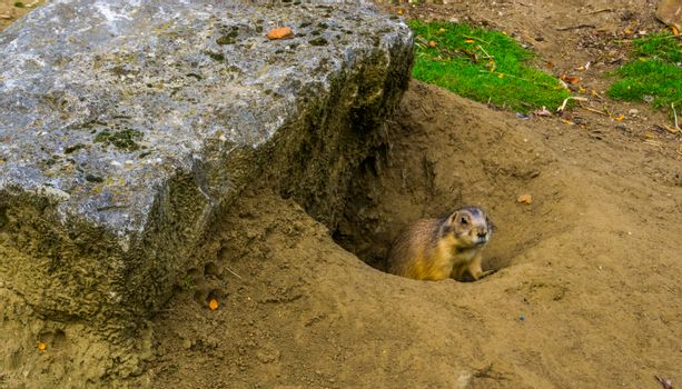 prairie dog coming out of his hole, animal home, tropical rodent from America