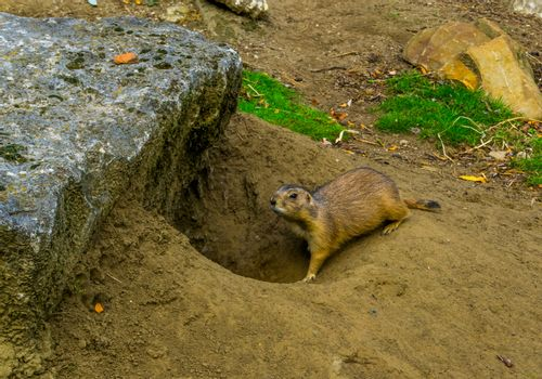 prairie dog walking back in his hole, animal underground home, tropical rodent from America