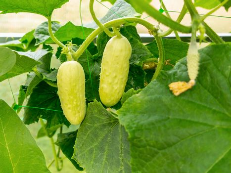 White cucumbers grows on the bed in the greenhouse