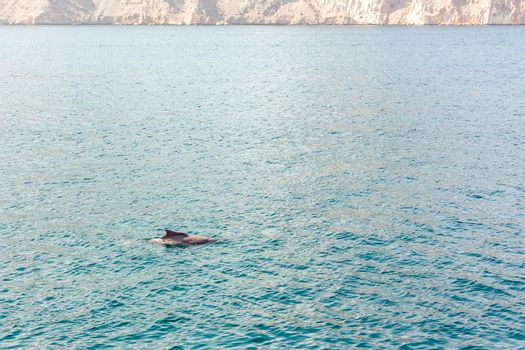 Dolphins playing in the water of the Gulf of Oman