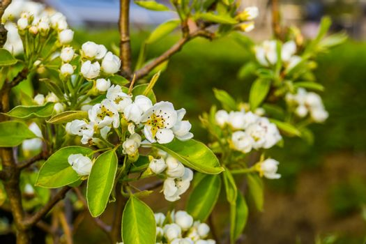 macro closeup of white roses in bloom during spring, pear tree, fruit cultivation and organic gardening